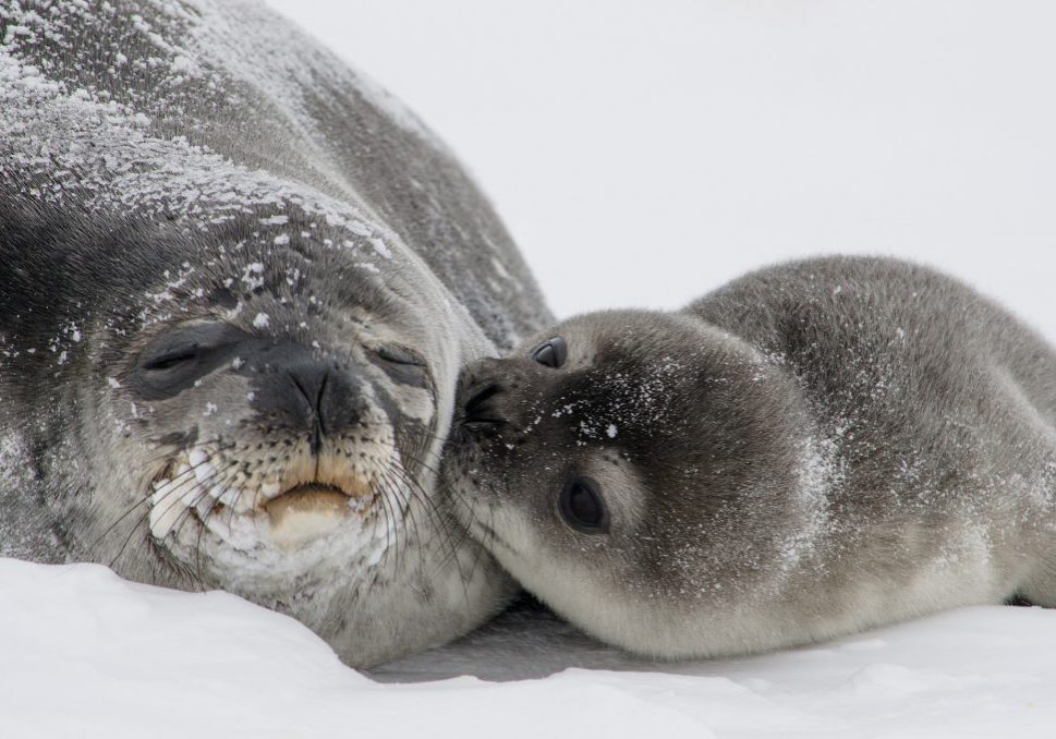 Baby seal kissing mother seal. mum-abilitymum-ability